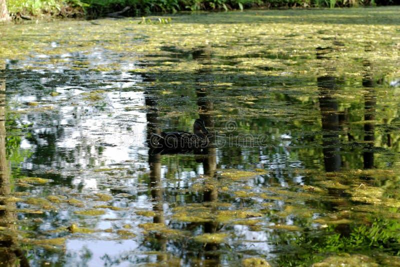 Eenden op het meer in het park stock afbeeldingen