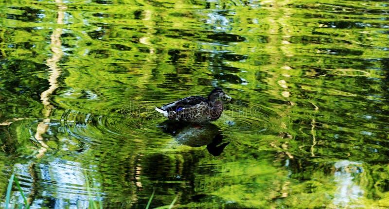 Eenden op het meer in het park royalty-vrije stock afbeelding