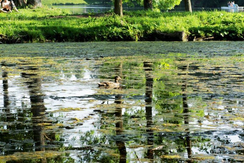 Eenden op het meer in het park stock afbeelding