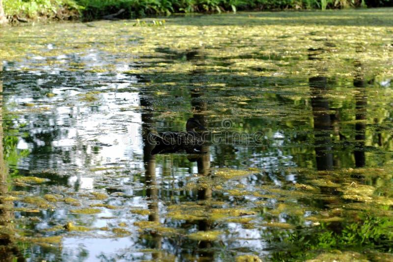 Eenden op het meer in het park royalty-vrije stock afbeeldingen