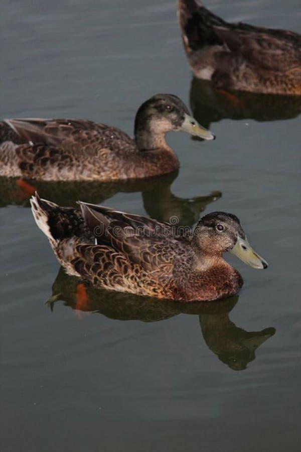 Eenden op het water royalty-vrije stock afbeeldingen