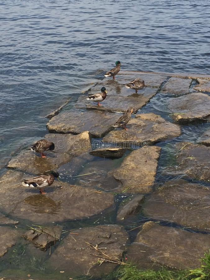Eenden op rotsen stock foto's