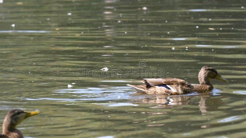 Eenden op water in de vijver van het stadspark De eenden zwemmen in een vijver in een stadspark de eenden zwemmen in een stadspar stock foto's