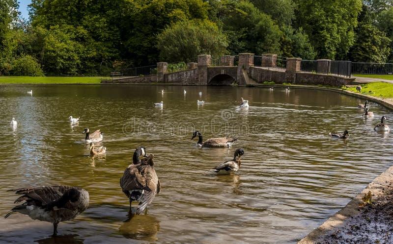 Eenden in Verulamium-Park, St Albans, het UK in zomer royalty-vrije stock fotografie