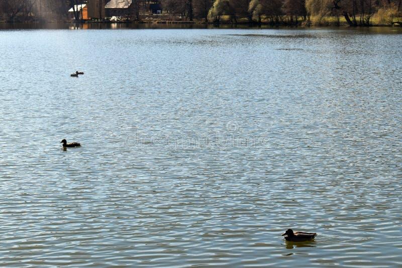 Eendenfamilie die op het glanzende meer bij zonsondergang zwemmen stock foto's