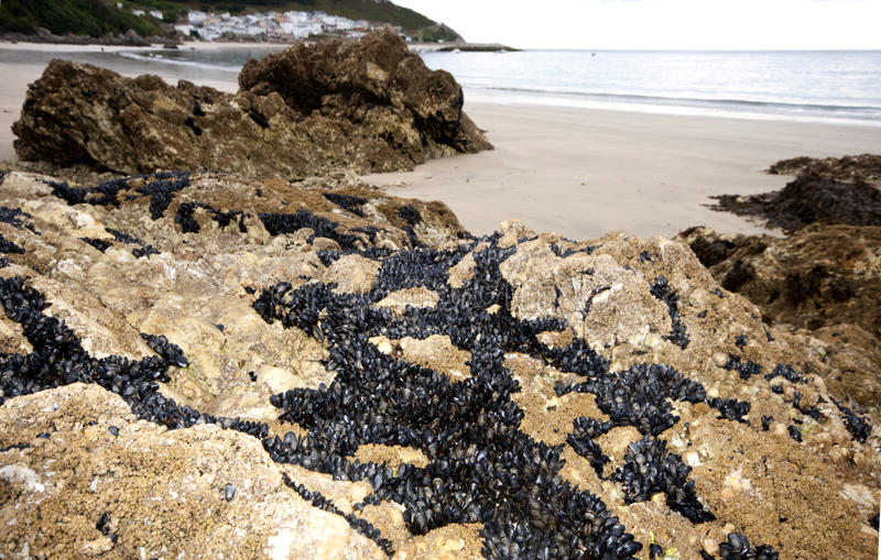 Eendenmosselen en mosselen in Galicië Spanje. royalty-vrije stock fotografie