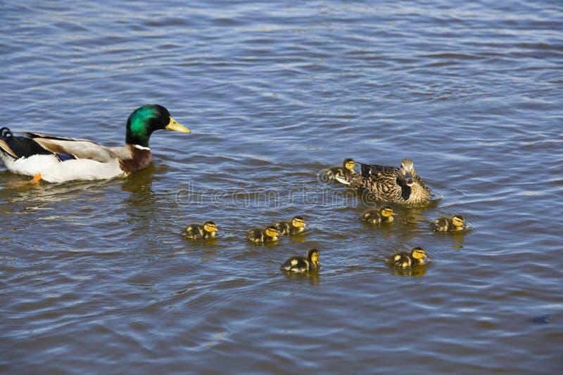 Eendfamilie royalty-vrije stock afbeelding