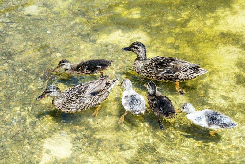 Eendfamilie die in het meer zwemmen stock foto