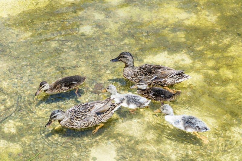 Eendfamilie die in het meer zwemmen royalty-vrije stock foto's