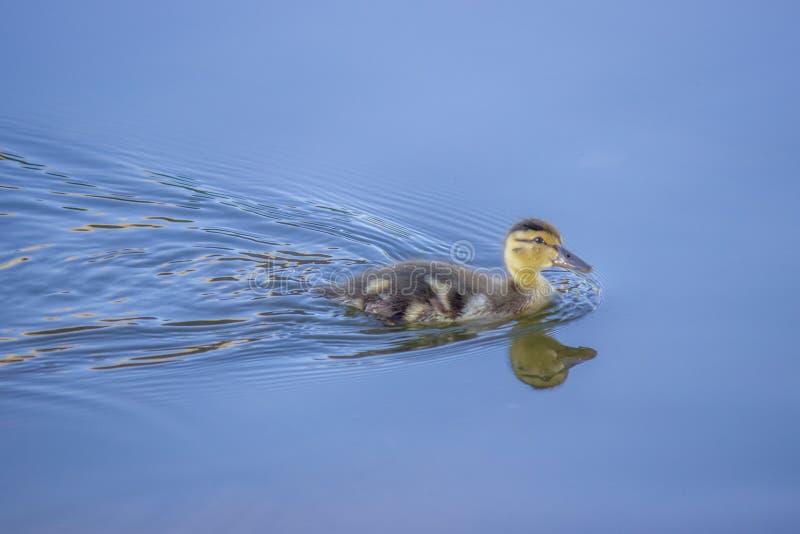 Eendje die over het meer zwemmen stock foto