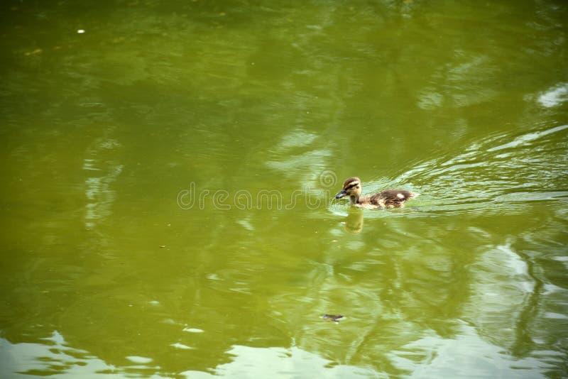Eendje het Zwemmen royalty-vrije stock afbeelding