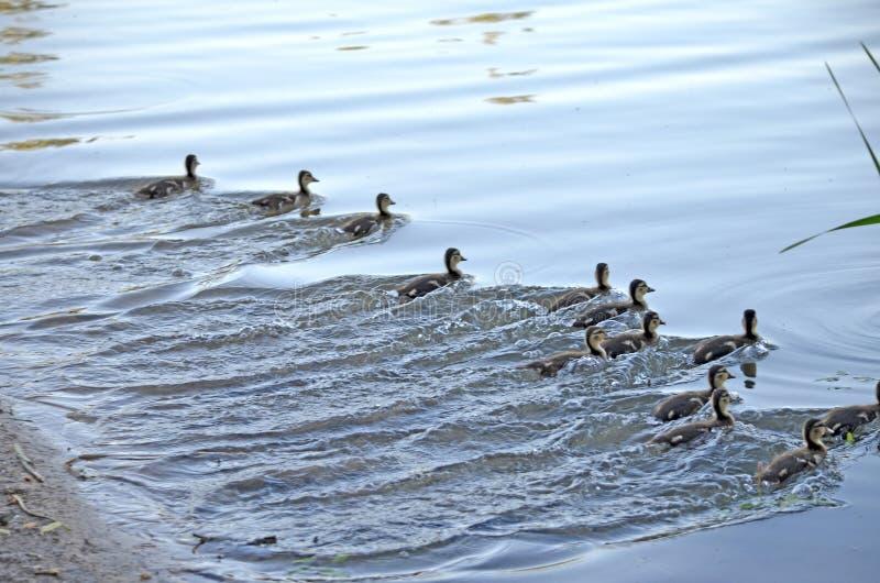 Eendjes op het meer in natuurlijke habitat stock fotografie