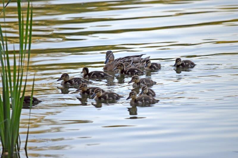 Eendjes op het meer in natuurlijke habitat royalty-vrije stock afbeelding