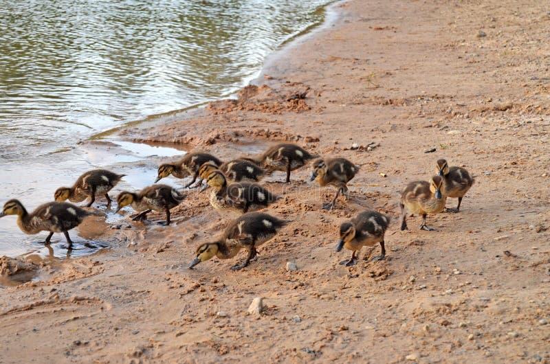 Eendjes op het meer in natuurlijke habitat royalty-vrije stock afbeeldingen