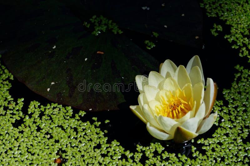 Eendonkruid en gele waterlelie in een vijver stock fotografie