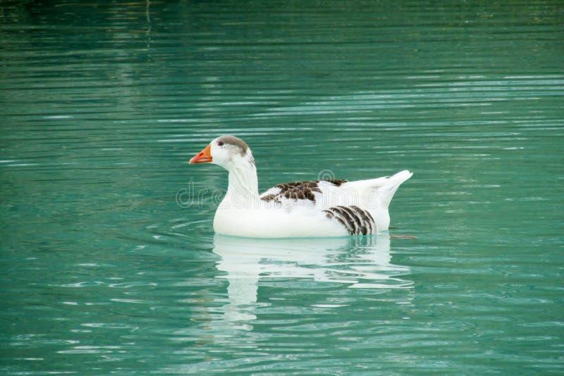 Eendvogel in water stock foto