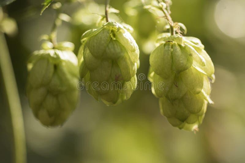 Eenhoevige hop Humulus lupulus angst, slapeloosheid en andere slaapstoornissen, rusteloosheid royalty-vrije stock afbeeldingen