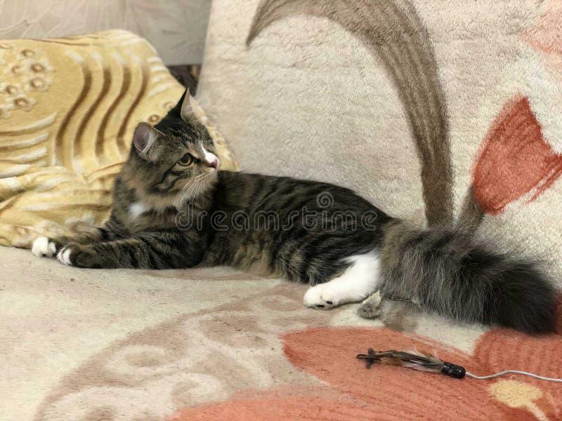 Eenogige kattenpiraat die imposingly op de laag liggen royalty-vrije stock fotografie