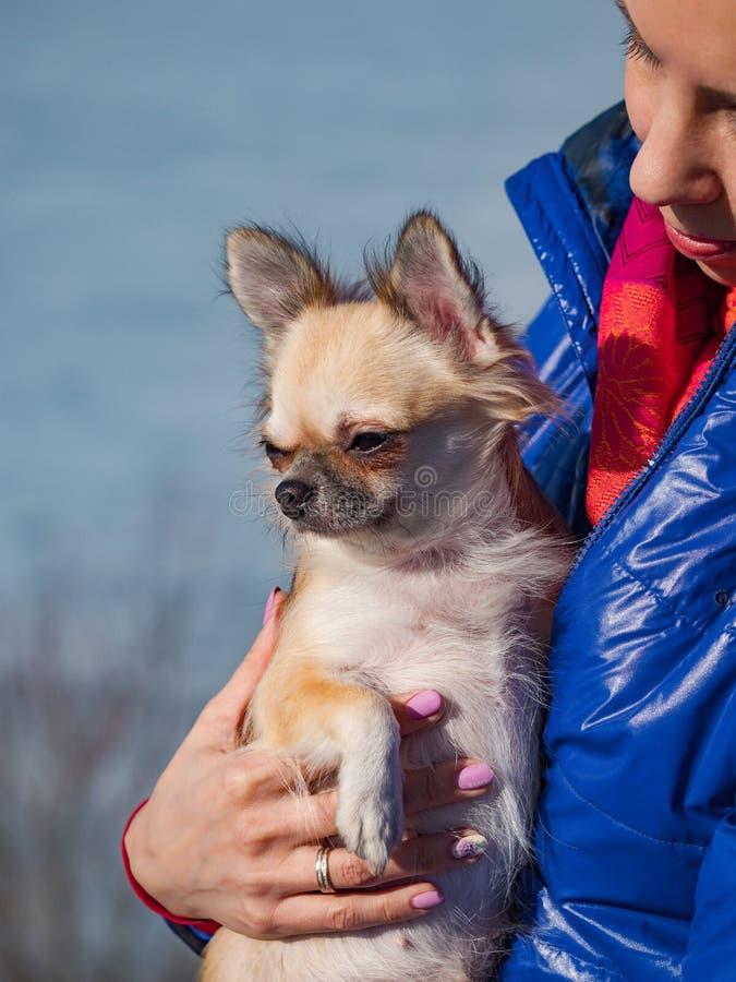 Eenvoudig ontspan De kleine Chihuahua-hond is in vrouwenhanden aanwezig Voor altijd samen stock afbeeldingen
