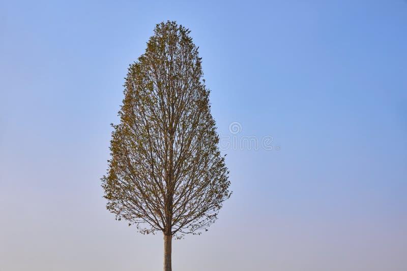 Eenvoudig slankere boom op een achtergrond van blauwe hemel stock foto