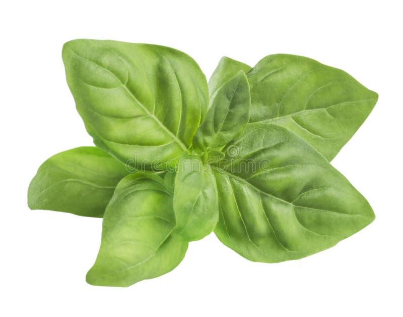 Eenvoudige groene verse die basilicumbladeren op witte achtergrond worden geïsoleerd stock afbeeldingen