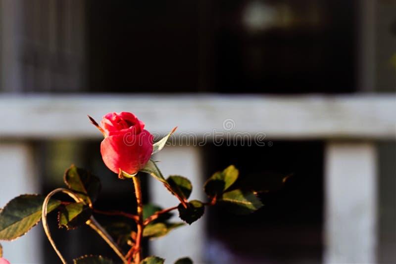 Eenvoudige Roze Rose Bud in de Zonsondergang royalty-vrije stock fotografie