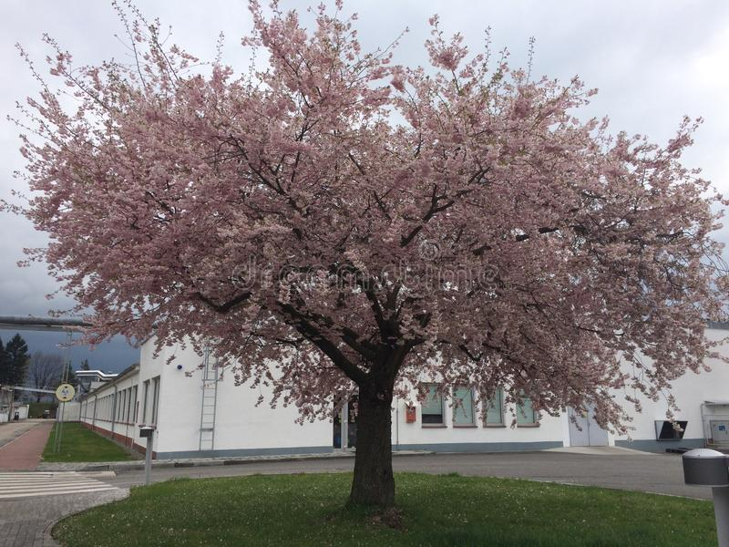 Eenvoudige Sakura Tree royalty-vrije stock afbeelding