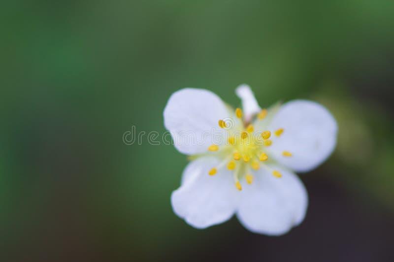 Eenvoudige Witte Bloem met Gele Stamens royalty-vrije stock fotografie