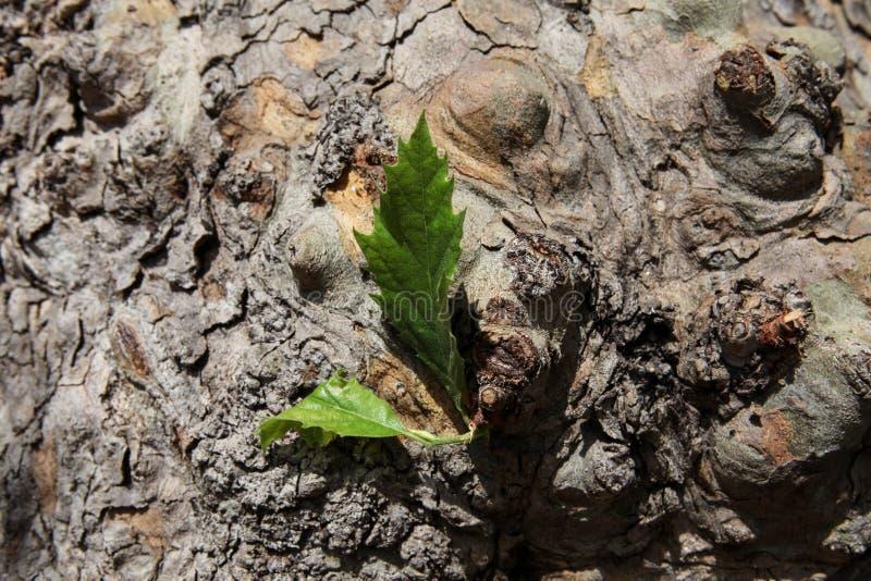 Eenzaam blad op een grote boom stock afbeeldingen