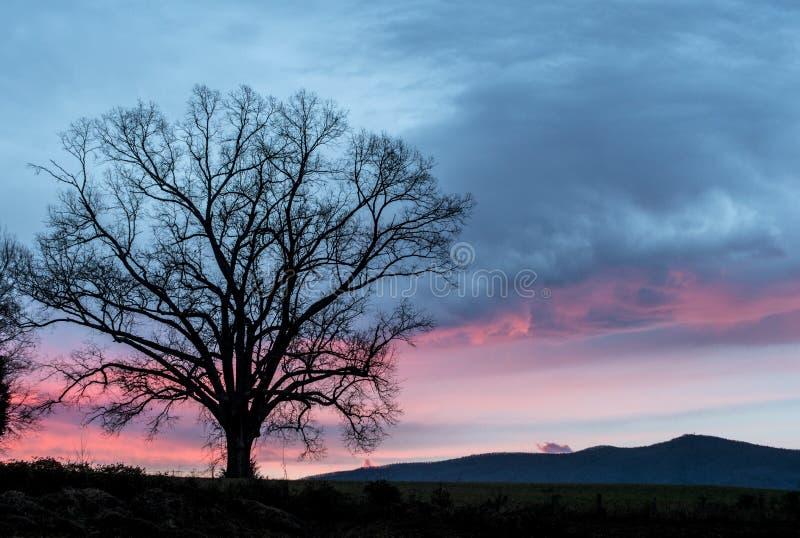 Eenzaam eiken boomsilhouet onder een roze hemel stock fotografie