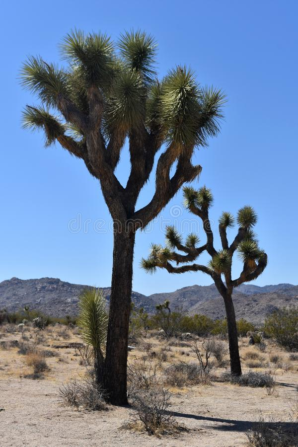 Eenzaam Joshua Tree With Large Boulders in Californië royalty-vrije stock foto's