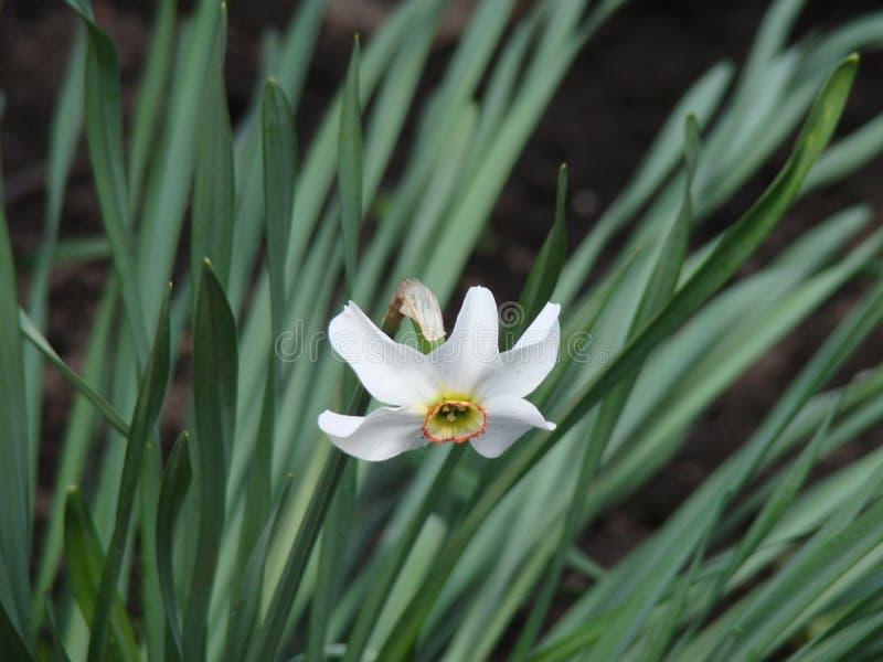 Eenzaam Narcissus Flower royalty-vrije stock afbeelding