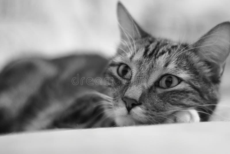 eenzaamheid Portret van een kortharige gestreepte binnenlandse kat stock afbeeldingen