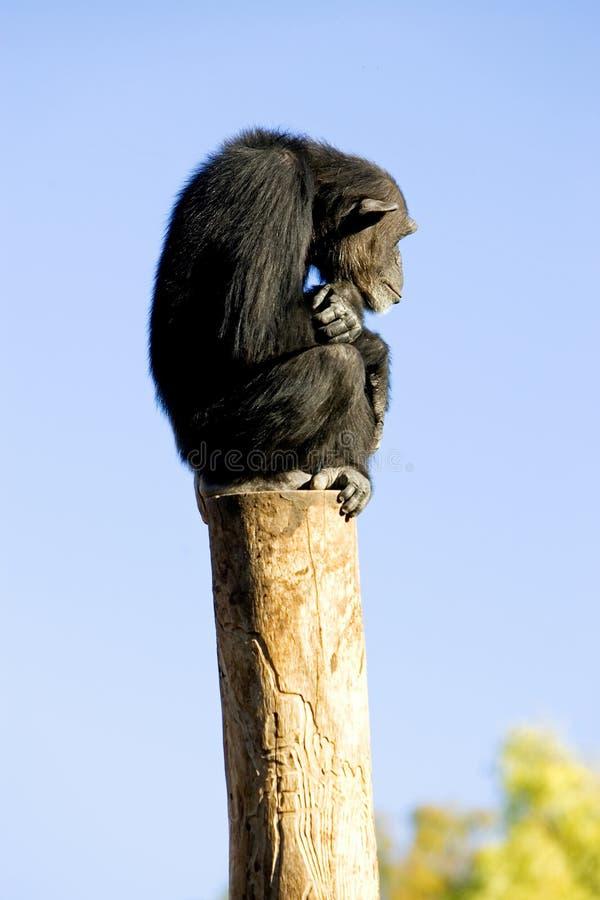 Eenzame aapzitting bovenop een grote pool royalty-vrije stock foto