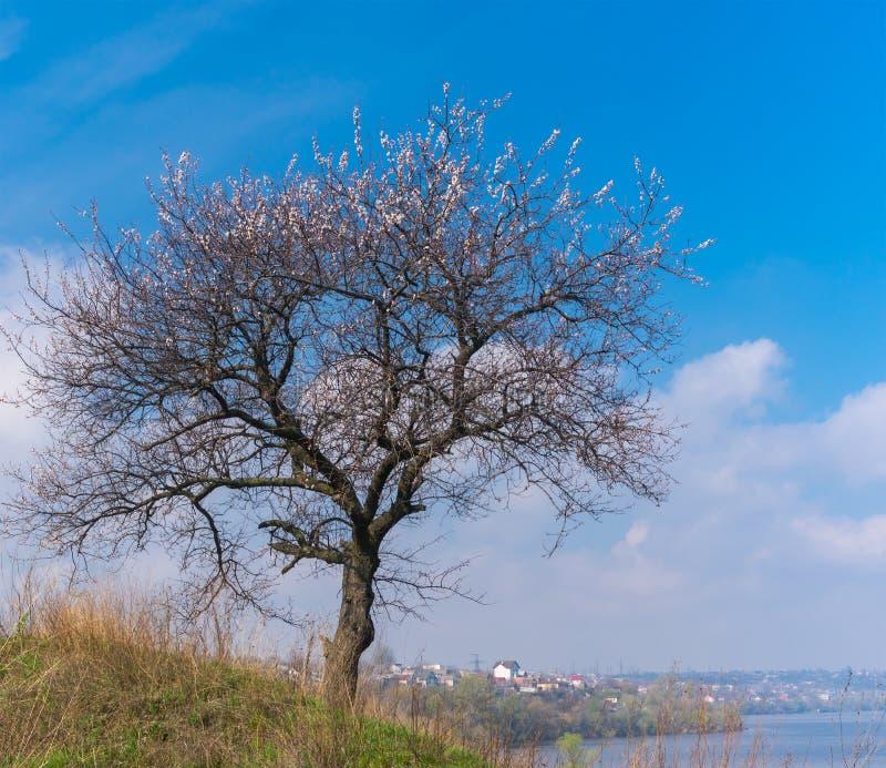 Eenzame abrikozenboom op een heuvelige rivieroever in het bloeien tijd tegen blauwe de lentehemel stock afbeelding