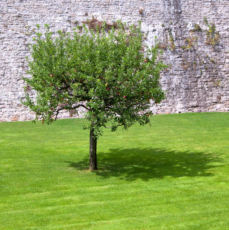 Eenzame appelboom en zijn schaduw royalty-vrije stock afbeelding