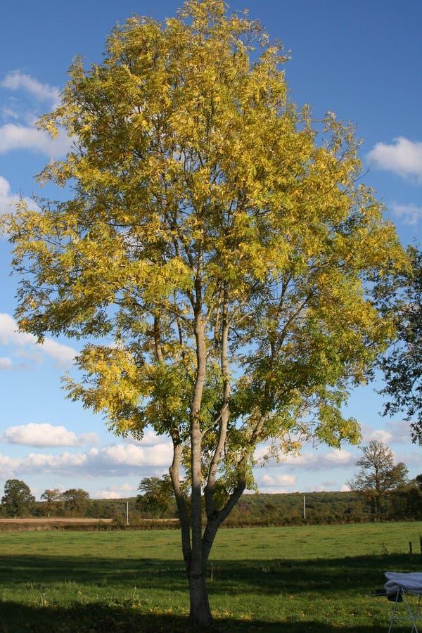 Eenzame asboom royalty-vrije stock afbeelding