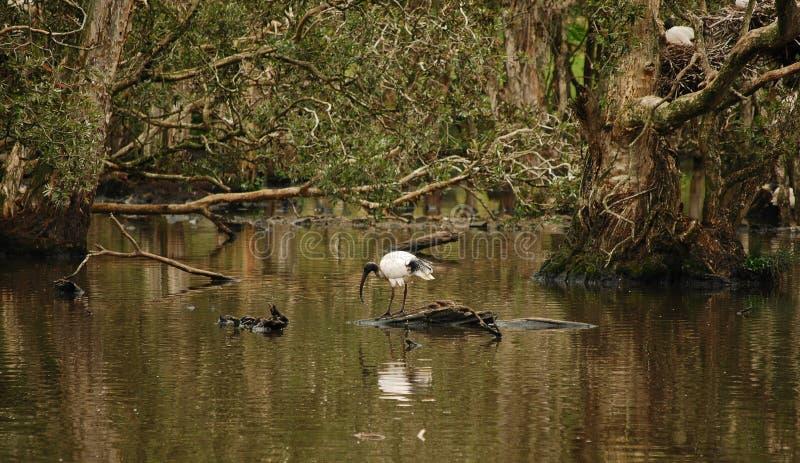 Eenzame Australische Witte Ibis (Threskiornis molucca) royalty-vrije stock foto's