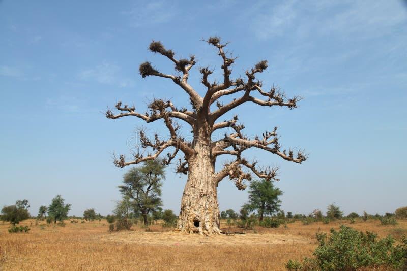 Eenzame Baobab royalty-vrije stock afbeelding