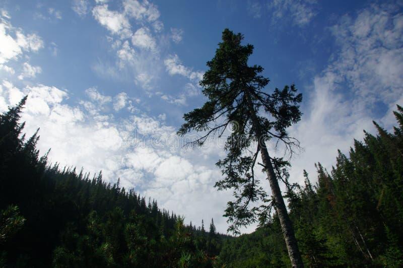 Eenzame bevindende pijnboom in de Siberische bergen op de achtergrond van de bewolkte hemel stock foto's