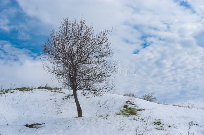 Eenzame bloeiende abrikozenboom op een heuvel na sneeuwonweer in April stock afbeeldingen