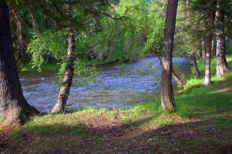 Eenzame bomentribune op de banken van een wilde rivier Ochtend, Sema-rivier, Altai, Siberië, Rusland Landschap stock foto's