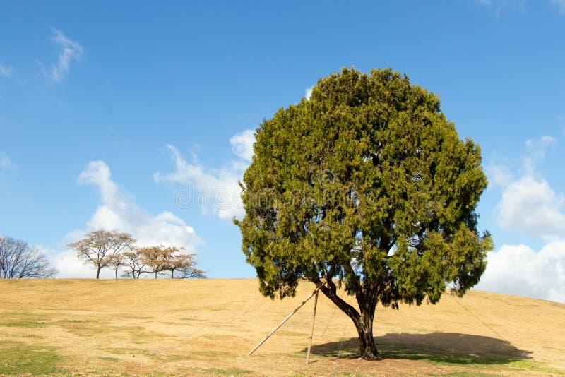 Eenzame boom bij olympisch park, Seoel met geel grasgebied en blauwe hemel royalty-vrije stock foto