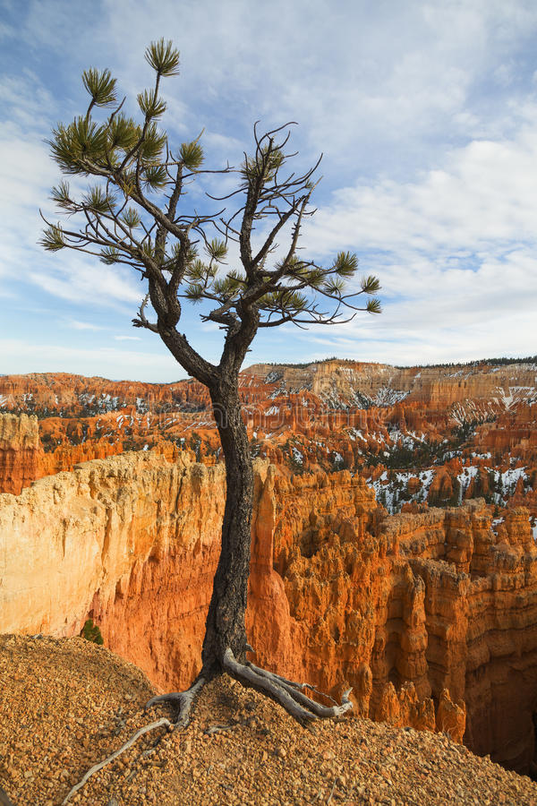 Eenzame Boom in Bryce Canyon stock foto's