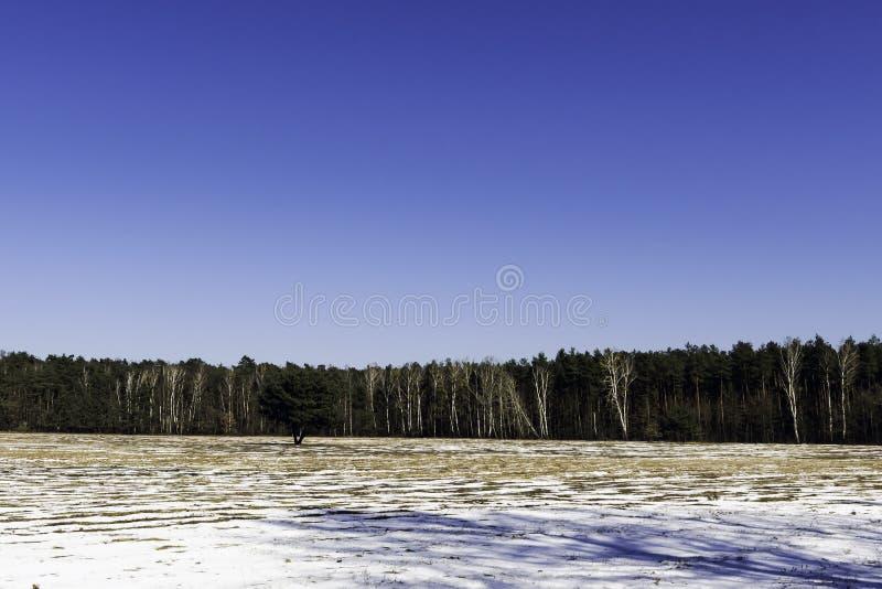 Eenzame boom - de winter in het Nationale Park van Kampinos royalty-vrije stock afbeelding