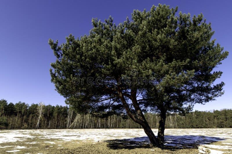 Eenzame boom - de winter in het Nationale Park van Kampinos stock fotografie