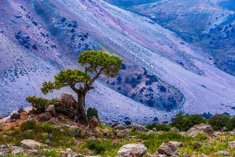 Eenzame boom die op de rotsachtige heuvel in hooggebergte, Tadzjikistan overleven stock afbeeldingen
