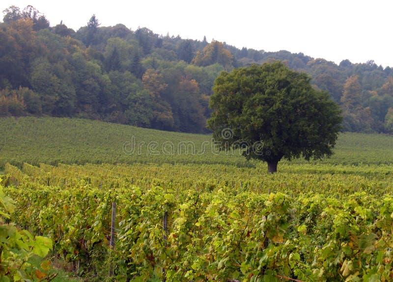Download Eenzame Boom In Een Wijngaard Stock Afbeelding - Afbeelding bestaande uit gebied, plantkunde: 276871
