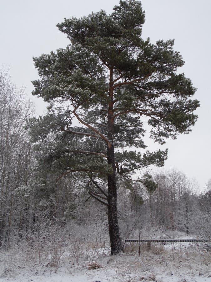 Eenzame boom in het bos royalty-vrije stock fotografie