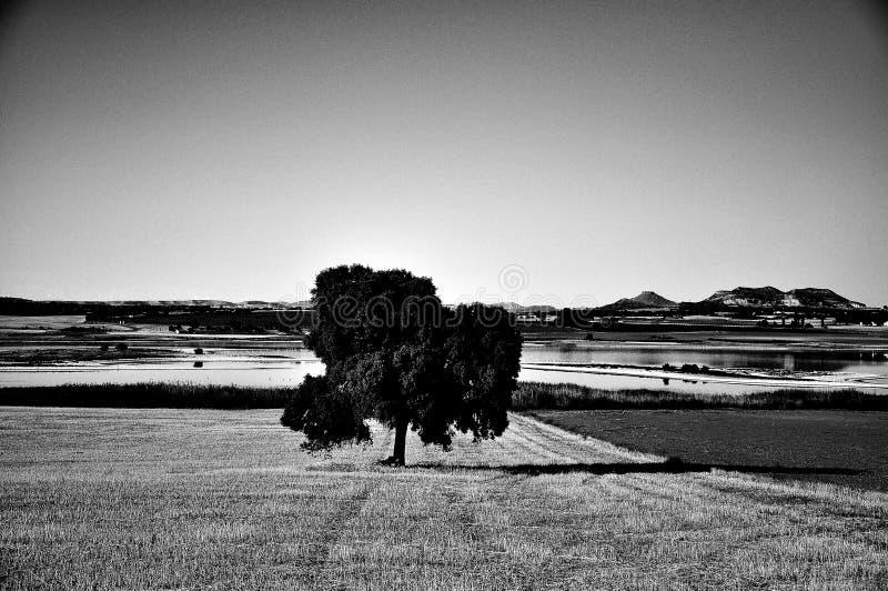 Eenzame boom in het midden van het gebied royalty-vrije stock afbeeldingen